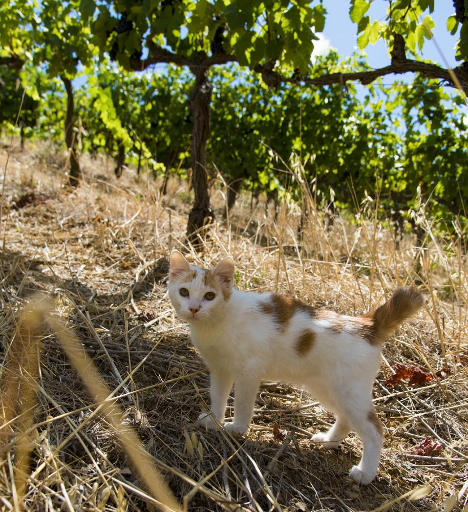 miaou minou dans le vignoble du languedoc