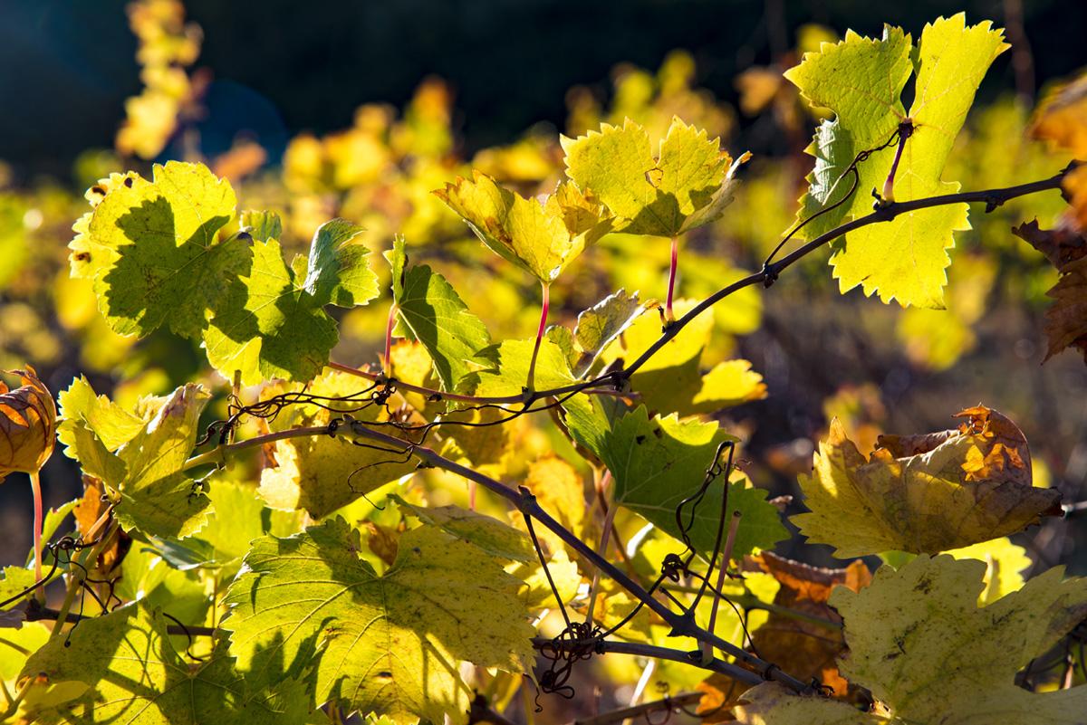 vrille vigne de saint chinian