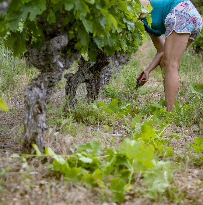 De l'utilité des travaux en vert dans les vignes en matière de respect de l'environnement