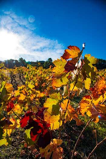 Couleurs de l'Automne dans les vignes du Languedoc