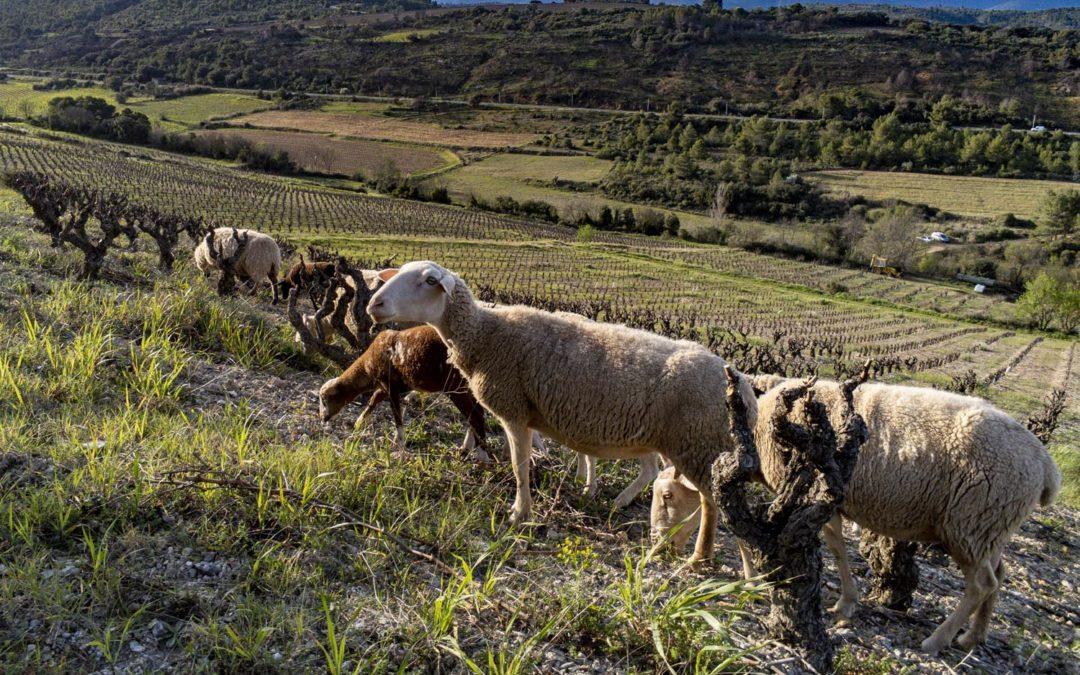 Dans mon vignoble, pas de confinement pour les moutons !