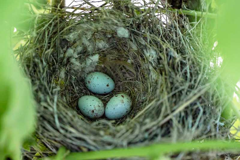 nid oiseau