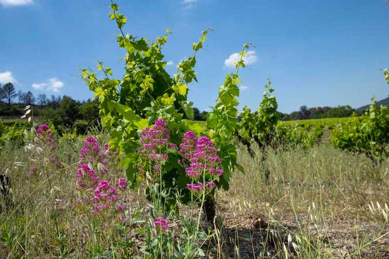 pas de pesticide vigne