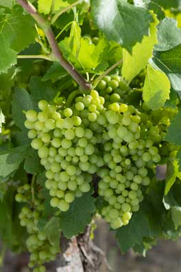 grappe de raisins dans les vignes