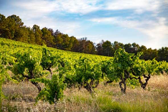 vignoble du languedoc en juillet